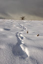 Footprint trail in winter landscape of footprints leading through a barren towards a leafless dead tree the far distance Stock Photography