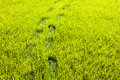 Footprints in grass Royalty Free Stock Photo