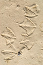 Footprints of seagulls Royalty Free Stock Image