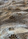 Footprints of wild animal paws on soft wet clay in a bed of a dried river Royalty Free Stock Photo