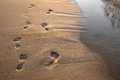 Footsteps in sand at sunset. Beautiful sandy tropical beach with footprints on the shore. Royalty Free Stock Photo