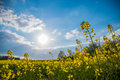 Fop perspective of meadow yellow blossoms sunlight spring Royalty Free Stock Photo