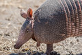Foraging armadillo nine banded in a dry grassland Royalty Free Stock Photography