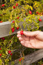 Foraging autumn hedgerow person picking rosehips Stock Images