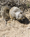 Foraging ground squirrel a for seeds on the bluffs near carlsbad state beach Royalty Free Stock Image