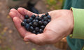 Foraging male hand full of bilberry Royalty Free Stock Photo