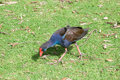 Foraging purple swamp hen in green grass area in western australia wetland Royalty Free Stock Image
