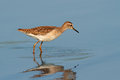 Foraging ruff a philomachus pugnax in water south africa Stock Photography