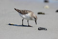Foraging Sandpiper Royalty Free Stock Photo