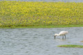 Foraging spoonbill at dutch wadden island texel Royalty Free Stock Image