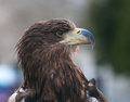 Forbidding eagle Royalty Free Stock Images