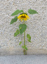 Forces of nature sunflower growing through the stone Stock Photos