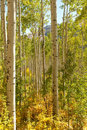 Forest of Aspen Trees Royalty Free Stock Photo