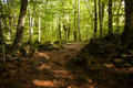 Forest autunm beech a in fall Stock Images