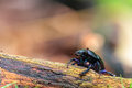 Forest beetle picture of a little in the woods of bavaria Royalty Free Stock Photos