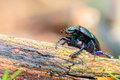 Forest beetle picture of a little in the woods of bavaria Stock Photography
