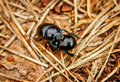In the forest beetles busy procreation spring Royalty Free Stock Photography