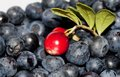 Forest berries picked in the Royalty Free Stock Images