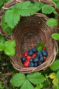 Forest berry collecting fresh in the Royalty Free Stock Images