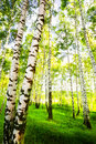 Forest birch Royalty Free Stock Photography