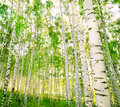 Forest birch Stock Photo