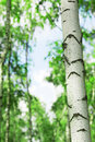 Forest birch in sunlight in the morning Stock Photo