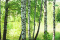 Forest birch in sunlight in the morning Royalty Free Stock Photo