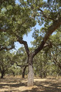 Forest of cork trees quercus suber alentejo portugal Royalty Free Stock Photos
