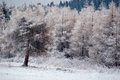 Forest covered with frost secluded snowy trees Royalty Free Stock Images