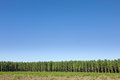 Forest and crystal clear sky edge of the of poplar trees Stock Photo