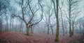 Forest at dawn panorama of a beautiful misty photographed Stock Photo