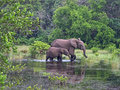 Forest Elephants, Gabon, West Africa Stock Images