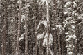 Forest with falling snow winter in an alaskan hemlock trees and spruce Stock Photos