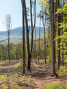 After forest felling young oak trees standing in a compartment with a forested hill in the background Stock Photos