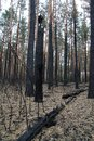 Forest after fire broken burnt pine and bushes