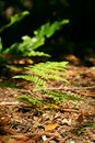 Forest Floor Fern Royalty Free Stock Image