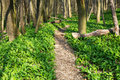 Forest with footpath nature ramson in spring Royalty Free Stock Image