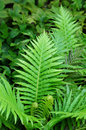 Forest Green Fern Stock Photography