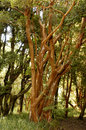 Forest i native myrtle tree in the known for its red color on the trunk Stock Photography