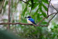 Forest kingfisher bird in tree a known for its royal blue head perching a Royalty Free Stock Photography