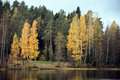 Forest lake with golden birch trees Royalty Free Stock Photo