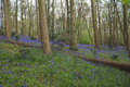 Forest landscape blue bells with fallen tree Royalty Free Stock Image