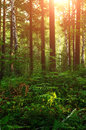 Forest landscape with ferns and trees under warm sunset light. Royalty Free Stock Photo