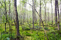 Forest a in the marsh in lithuania Royalty Free Stock Photography