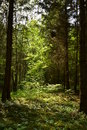 Forest mistery walking in the is like a full with sun and trees Royalty Free Stock Photos