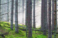 Forest with morning fog Royalty Free Stock Photo