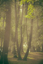 Forest in morning mist Royalty Free Stock Image