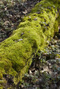 Forest moss covered tree bole a rotten is with green and lays on the floor the sunlight flooded the green and plays with Royalty Free Stock Photography