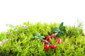 Forest moss and cranberries on a white background Stock Images