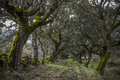 Forest of mossy oaks mediterranean forest Royalty Free Stock Photo